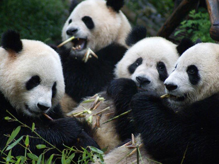 Panda's, mountaintrail & homestay