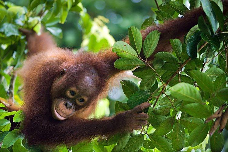 Orang-oetans (Borneo)