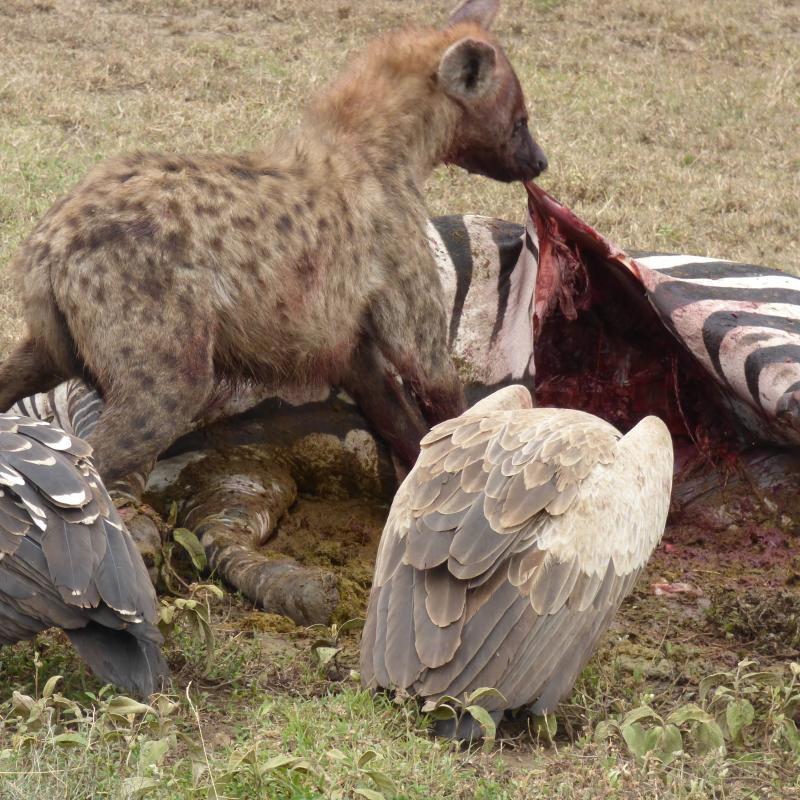 hyena en gier eten zebra