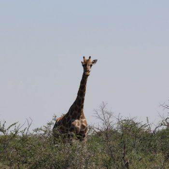 Veel giraffen gespot