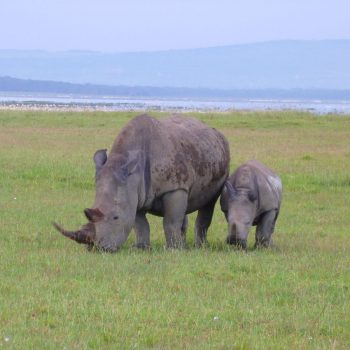 Neushoorn met jong in Lake Nakuru National Park