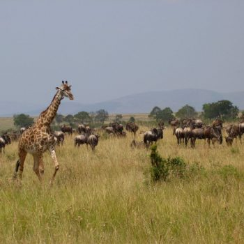Giraffe en wildebeesten in Masai Mara