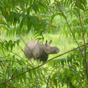 Neushoorn in Chitwan National Park