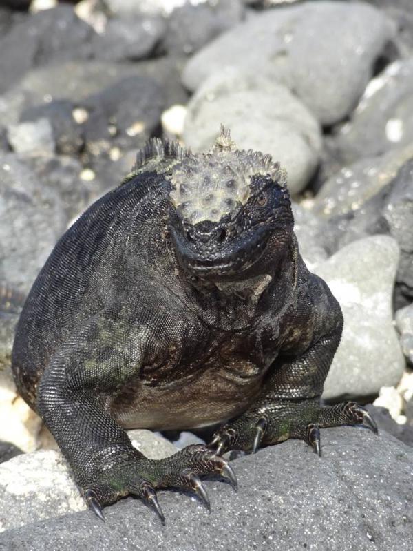 Iguana\'s op de Galapagos