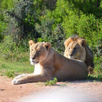 De leeuwen van Addo NP