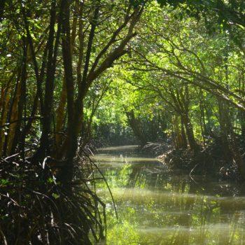 Mangrove van krabi