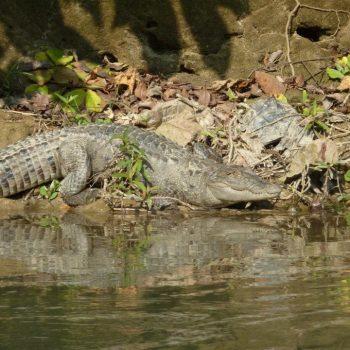 Krokodillen tijdens boottocht