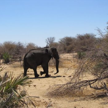 Olifant in Moremi NP