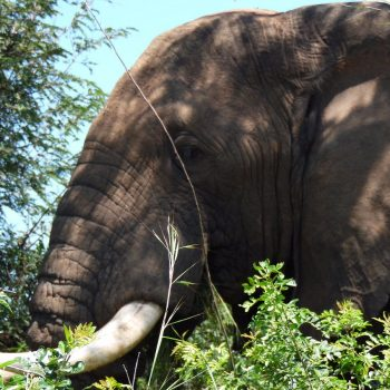 olifant vlakbij de auto in Murchinson