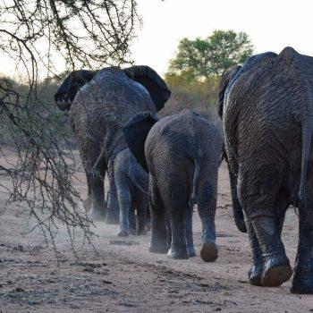 Olifanten prachtig op een rij in het Kruger NP