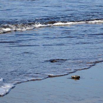 Juan Venado Island Nature reserve baby zeeschildpadden