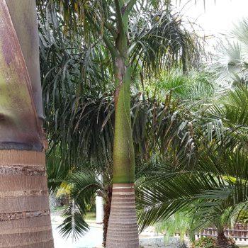 Hele aparte palmbomen in de Botanische tuin van Torromolinos