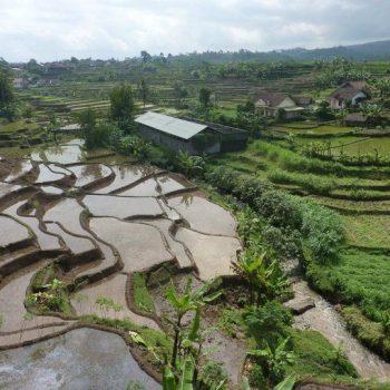 Rijstvelden onderweg