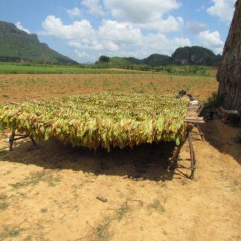 tabaksbladeren hangen te drogen