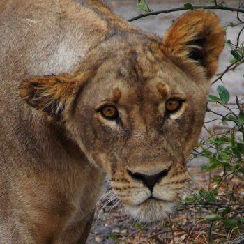 Leeuw  heel dichtbij in Chobe