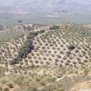 Typische heuvel met olijfbomen