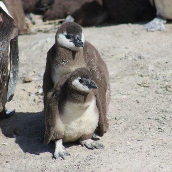 Pinguins bij Boulders Beach