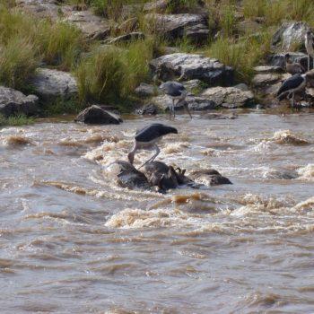 Overleden wildebeesten na de migratie oversteek Masai Mara