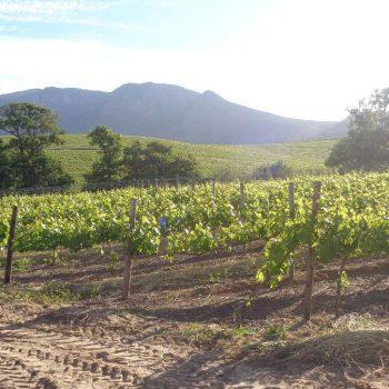 Wijntuinen