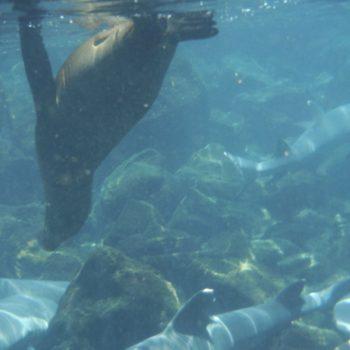 snorkelen tussen zeeleeuwen en haaien
