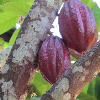 Grote cacao vruchten groeien uit een piepklein bloemetje