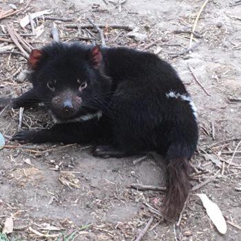 Een Tasmaans duiveltje.
