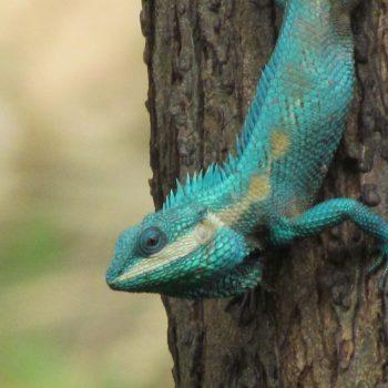 De bomen zitten vol met deze blauwe reptielen