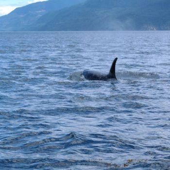 orca in Telegraph cove