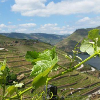 Druiven plantages