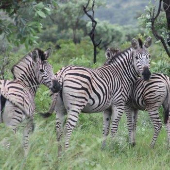 Zebra's in het Kruger Nationaal Park