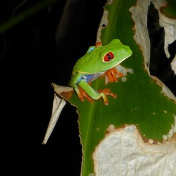 Red eyed leaf frog, Tortugero NP