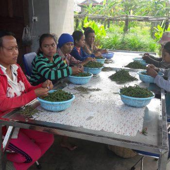 Dames op de peperplantage aan het werk