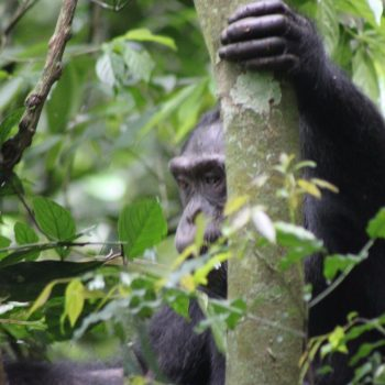 De eerste chimp gespot
