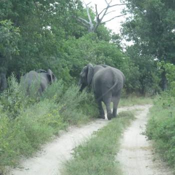 Olifanten die de weg blokkeren