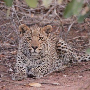 Naast onze auto naar binnen te staren, Krugerpark.