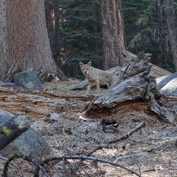 Wildlife in Yosemite