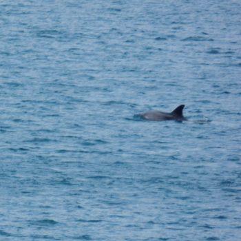 dolfijnen tijdens oversteek