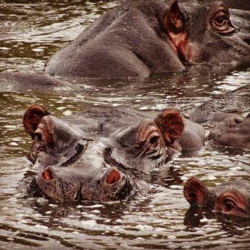 Hippopool, Masai Mara