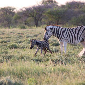 Zebra net bevallen in Etosha