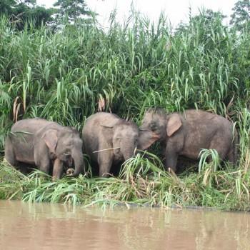 Olifanten spotten tijdens de Kinabatanganriver cruise in Borneo