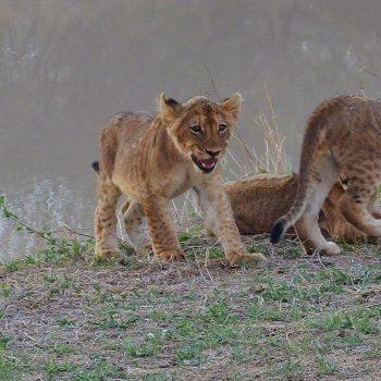 jong leeuwtje vanuit de auto gezien