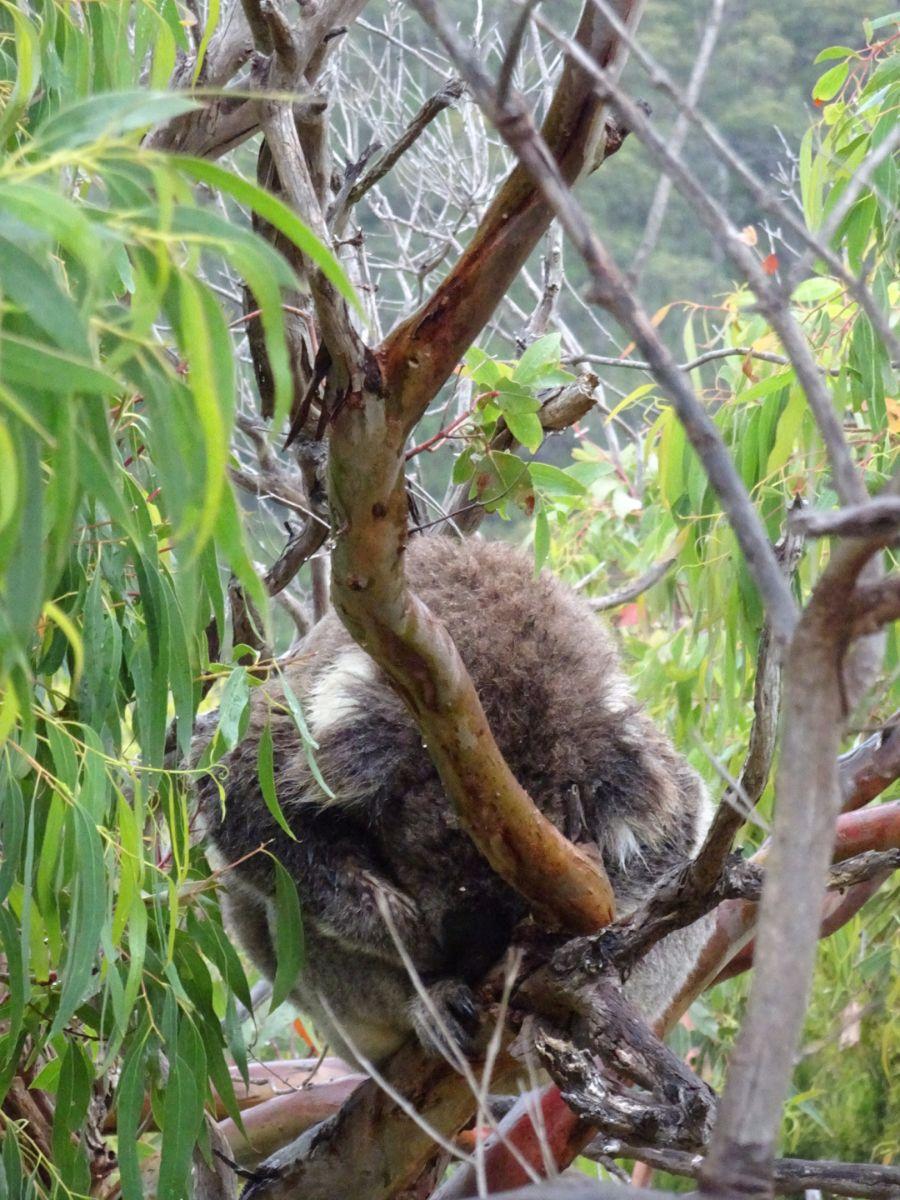 Koala, teddy's lookout