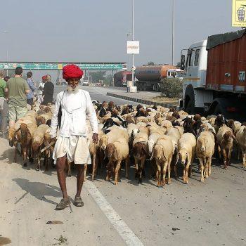 herder met zijn kudde
