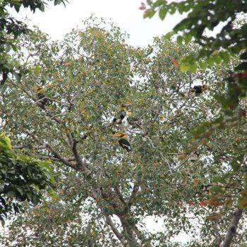 De neushoornvogels op Langkawi