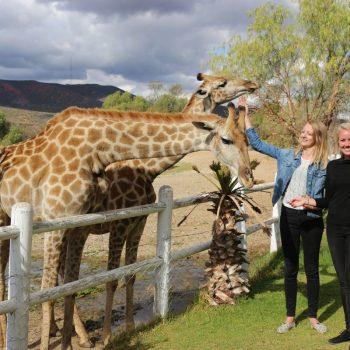 Giraffes bij Oudtshoorn