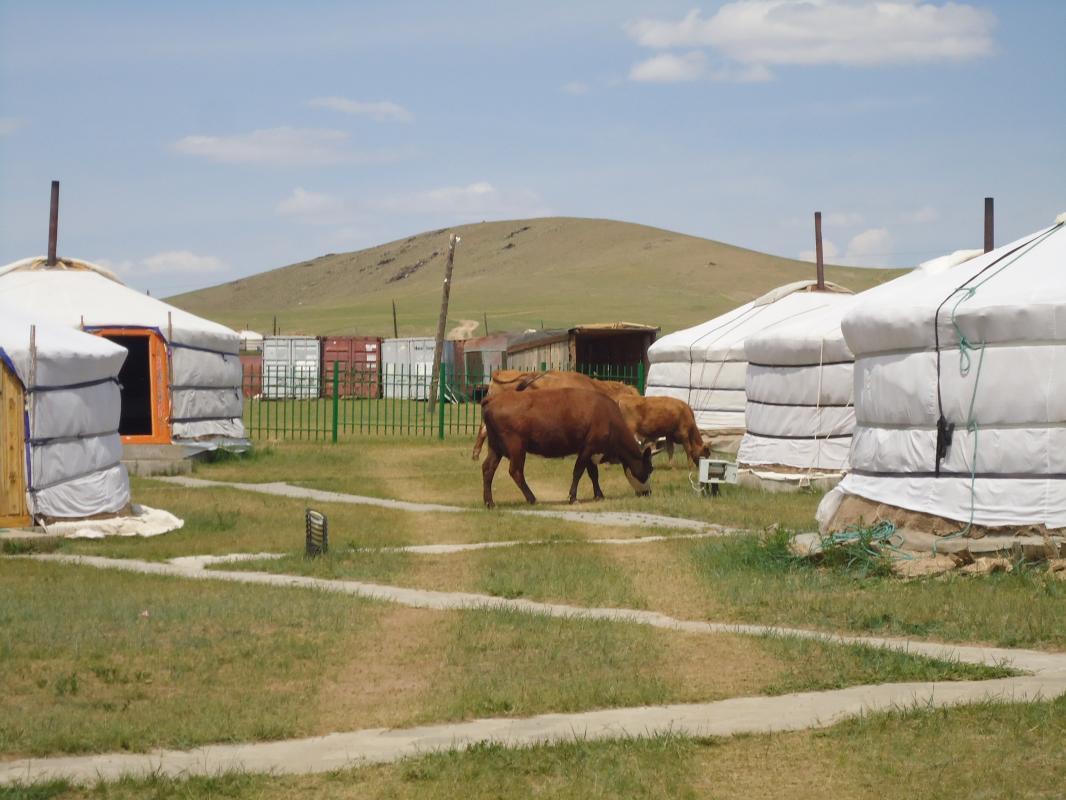 Koeien tussen gers