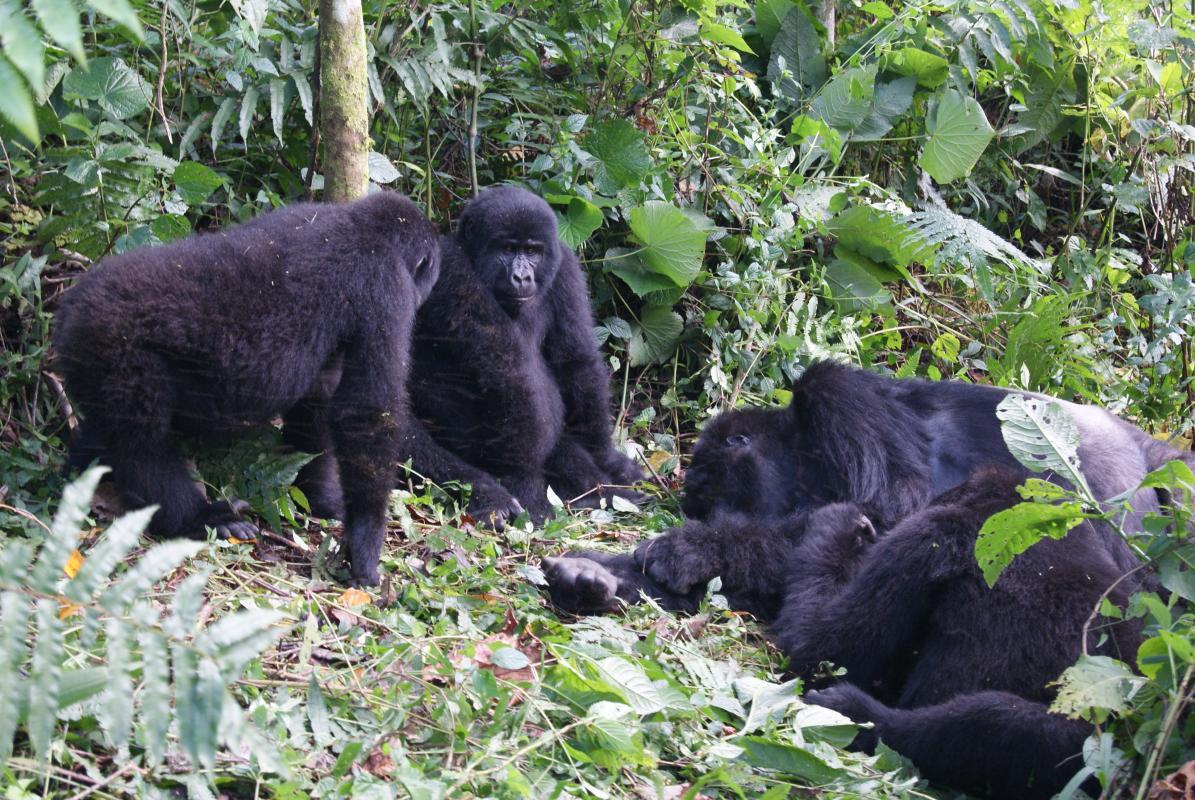 Gorilla\'s