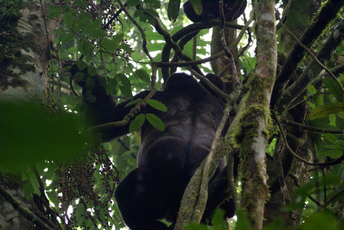 Gorilla\'s @ Bwindi NP