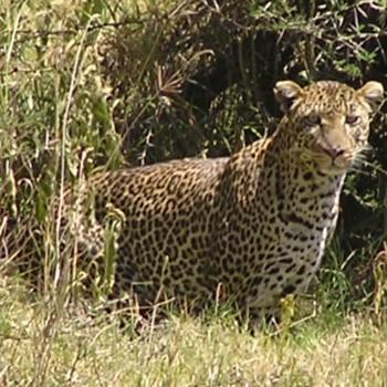 Luipaard, net voor we weggingen