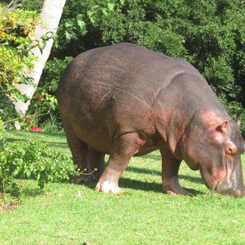 een nijlpaard op bezoek in de tuin